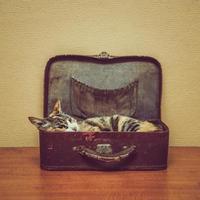 kat van schildpadkleur in een vintage koffer foto