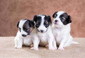 drie kleine puppy papillon foto