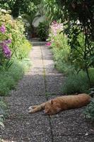 kat liggend in de tuin foto