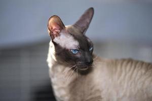 portret van sphynx haarloze kat foto