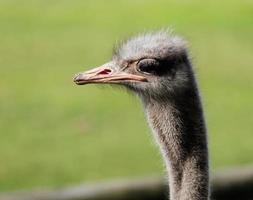 het portret van struisvogel op een groene achtergrond foto