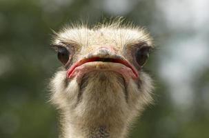 hoofd van Afrikaanse struisvogel foto