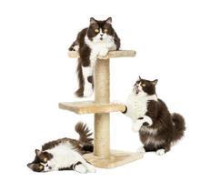 Britse langharige katten op een krabpaal foto