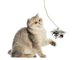Britse korthaar zitten, spelen met veren speelgoed, geïsoleerd
