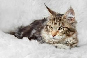 zilver zwart maine coon kitten poseren op achtergrond bont foto