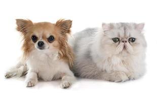 Perzische kat en chihuahua foto