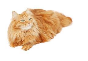 pluizige rode kat die op witte achtergrond wordt geïsoleerd foto