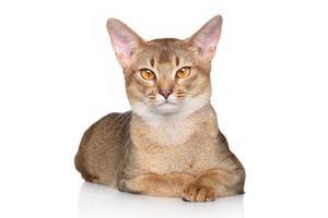 Abessijnse kat op witte achtergrond foto