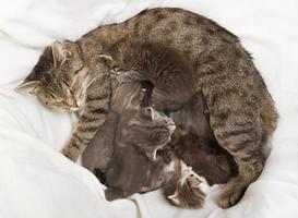 katten baby's drinken bij haar moeder foto