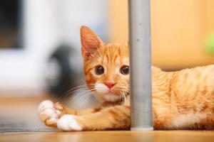 dieren thuis - rode kleine kat huisdier kitty foto