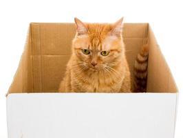 gele gember kat huisdier in doos geïsoleerd foto