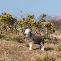herdwick sheep - Lake District, Verenigd Koninkrijk foto