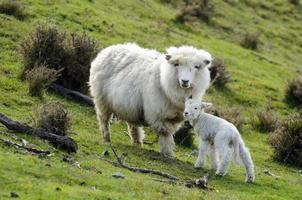 Nieuw-Zeelandse perendale schapen foto