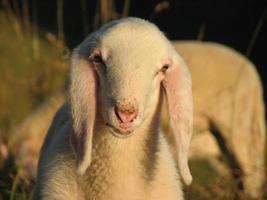 jonge witte lam in een kudde foto