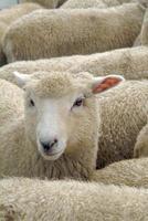 kudde schapen, Nieuw-Zeeland foto