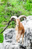 barbarije schapen foto