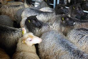 schapen binnen scheren schuur op boerderij foto