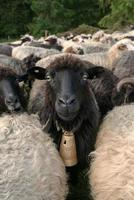 schapen foto