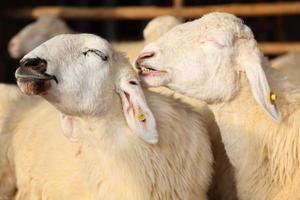 twee gelukkige schapen glimlachend in de boerderij foto
