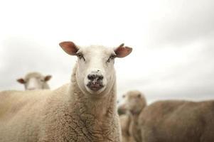 schapen die camera controleren foto