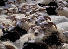 kudde schapen foto