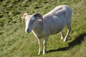 geschoren schapen foto
