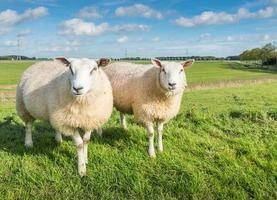 twee vreemd uitziende schapen foto