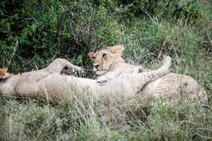 leeuwenwelpen spelen foto