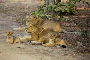 Aziatische leeuwtrots foto