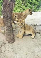 Aziatische leeuwenwelpen foto