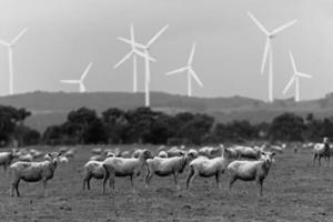 schapen windmolen foto