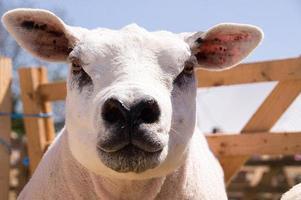 texel schapen foto