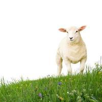schapen geïsoleerd foto