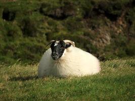 luie schapen foto