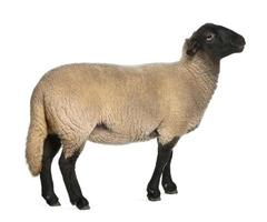 vrouwelijke suffolk schapen, ovis aries, 2 jaar oud, staand foto