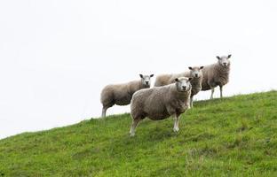 vier schapen foto
