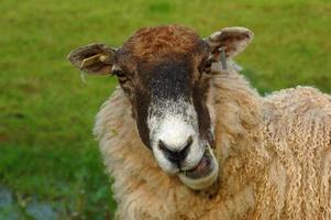 pratende schapen foto