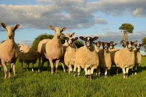 nieuwsgierige schapen foto