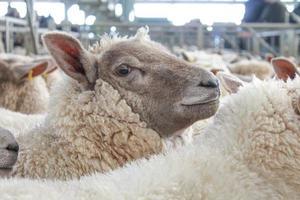 donzige wollige schapen foto