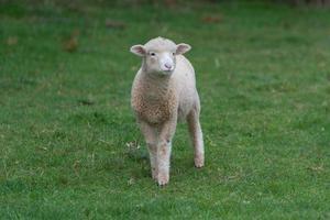 schapen in de paddock foto