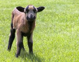 schapen close-up foto