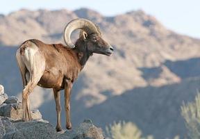 big horn schapen foto