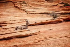 woestijn dikhoornschaap foto