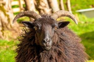 zwarte mannelijke schapen foto