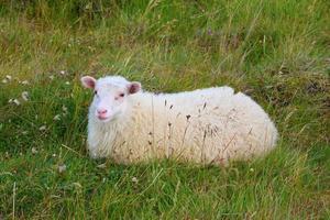 de IJslandse schapen foto