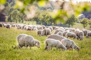 kudde schapen in de taunus bergen foto