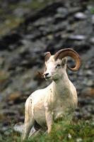 dall schapen ram