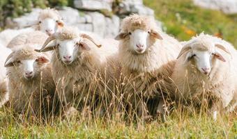 berg schapen foto