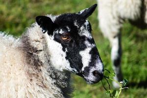 volwassen schapen foto