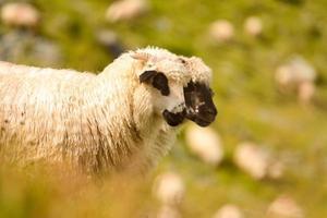 witte schapen foto